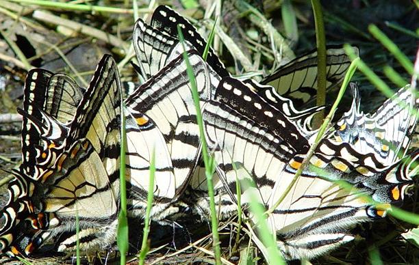 18 June 2002 butterflies in ditch 014.jpg